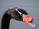 Black-Necked Swan (Slimbridge April 2011)